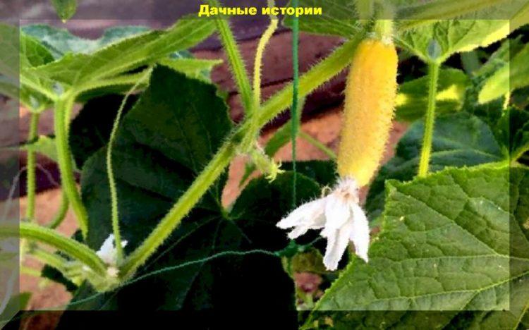 желтеют плоды огурцов в теплице