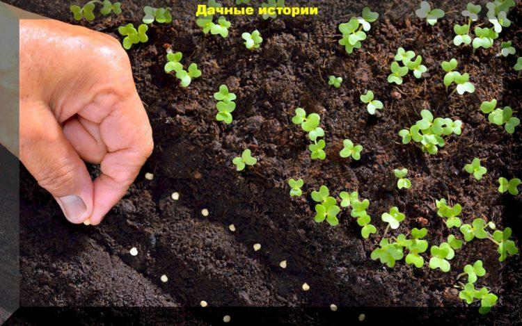 сроки посева семян бальзамина