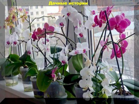 scale 2400 5 1 480x360 - Типичные и фатальные ошибки при выращивании орхидей. Советы начинающим