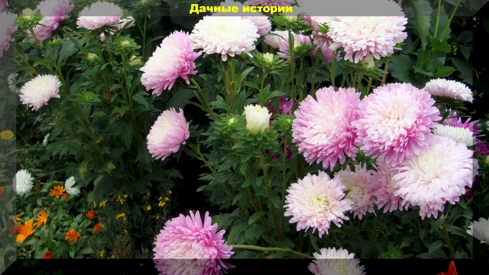Нюансы выращивания астр через рассаду. Все просто, но вы удивитесь ее пышному цветению