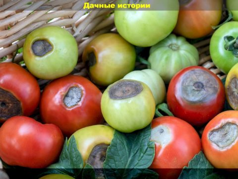 13 result 480x360 - Как можно уберечь томаты от вершинной гнили? Советы, которые помогут предупредить развитие недуга