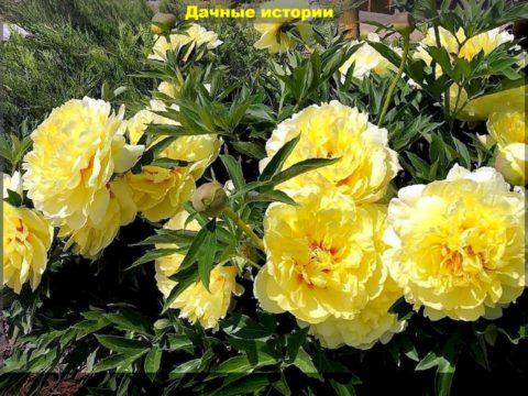 32 result 480x360 - Подкормка цветущих пионов - гарантия пышного цветения. Способ продлить жизнь свежесрезанным пионам