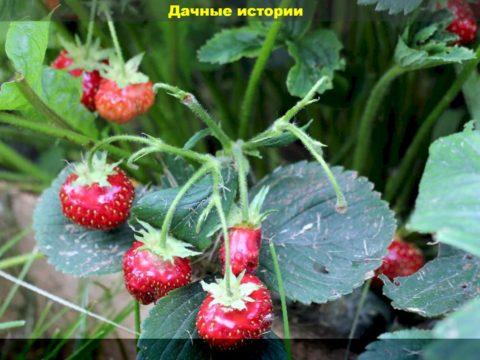 63 result 480x360 - Вторая волна ягод клубники более мелкая и дефицит питания - главные июньские заботы на клубничной грядке