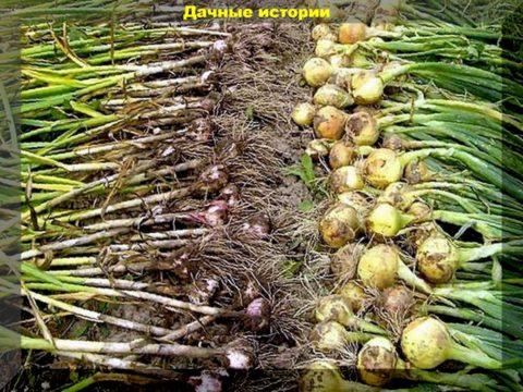 67 result 480x360 - Укроп, мята, полынь на стаже чеснока и лука. Проверенные веками агроприемы
