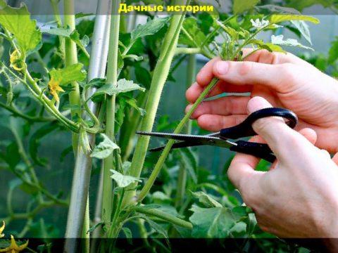 8 result 480x360 - Пасынки на томатах: как правильно и когда их удалять. Правила проведения работ по формировке куста