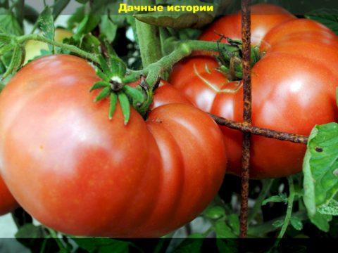 55 result 1 480x360 - Опасные симптомы у томатов: как распознать серую гниль, сохранить все завязи и получить сладкие и мясистые помидоры