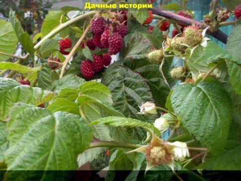 84 result 480x360 - Что нужно делать во время цветения ремонтантная малины? Важные моменты в уходе