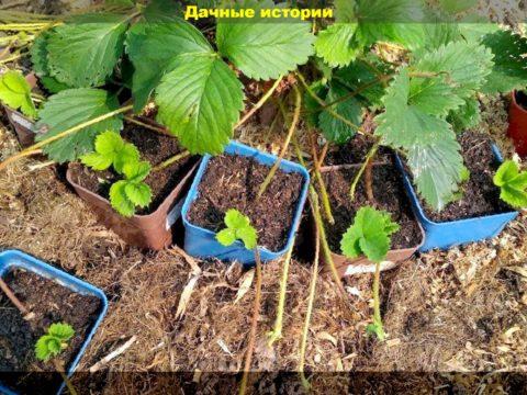 89 result 480x360 - Какие способы посадки клубники проще и эффективнее? Сажаем клубнику в августе, чтобы на будущий год получить богатый урожай