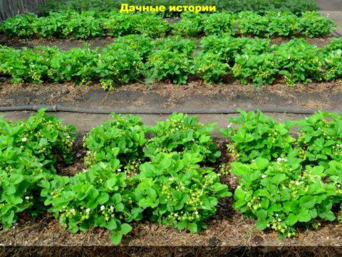 1 result 480x360 - Что сделать в сентябре для большого урожая клубники в следующем году. Памятка дачнику