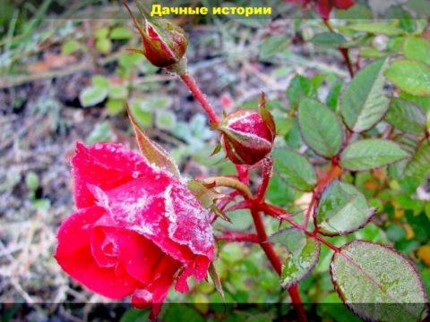 scale 1200 4 1 480x360 - Розы в сентябре — думаем о зиме. Памятка цветоводу