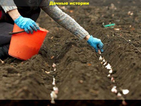16 result 480x360 - Секреты посадки чеснока для отменного урожая. Крупные здоровые головки будут храниться целый год